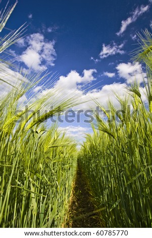 View of the clumps of rye from the bottom - stock photo
