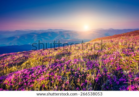 View of the magic pink rhododendron flowers on the hill. Dramatic scene. National park Chornogora. Carpathian, Ukraine, Europe. Beauty world. Retro style, vintage soft filter. Instagram toning effect - stock photo