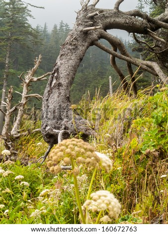View of the Windswept Trees of Ecola State Park - stock photo