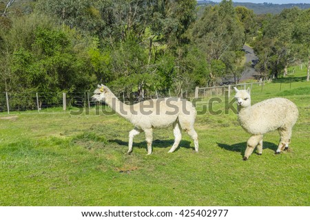 View of two fluffy Huacaya alpacas with cuddly look in a farm - stock photo