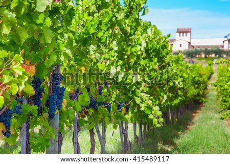 View of vineyard row with bunches of ripe red wine grapes - stock photo