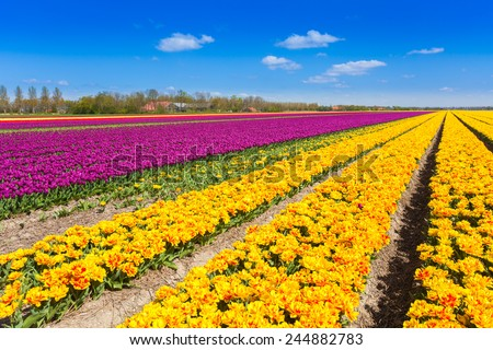 View of yellow and purple tulip rows in summer - stock photo
