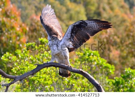 View on beautiful Bonelli's eagle with spreaded wings on tree branch.Bokeh - stock photo