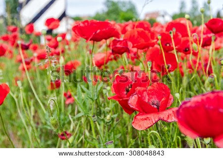 View on beautiful bright red poppy flowers next the railroad bridge in spring. - stock photo