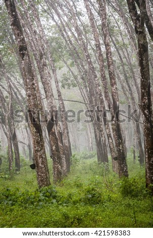 View on caoutchouc tree forest plantation - stock photo