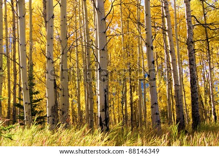 View through a vibrant aspen forest during autumn - stock photo