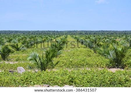 Views of palm oil plantations - stock photo