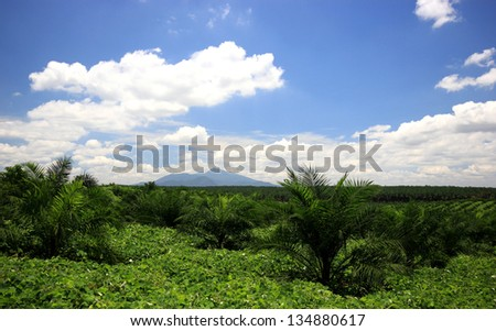 Views of palm oil plantations with mountain background - stock photo
