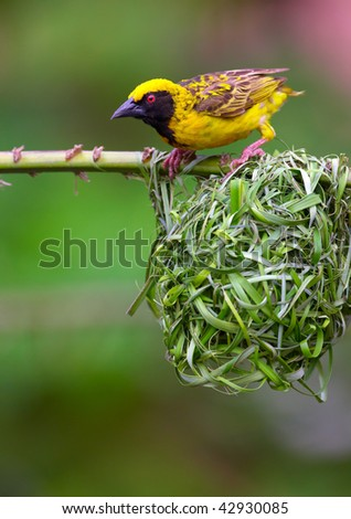 Village (Spotted-backed) Weaver (Ploceus cucullatus) sitting on the branch above his nest in South Africa - stock photo