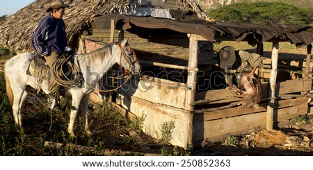 VINALES, CUBA - DECEMBER 13: A gaucho sitting on his horse is looking at a man pulling a pig out of a barn ,on december 13, 2014, in Vinales, Cuba  - stock photo