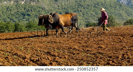 VINALES, CUBA - DECEMBER 11: A peasant wearing a straw hat works the soil with a wooden plough pulled by two brown oxes ,on december 11, 2014, in Vinales, Cuba  - stock photo