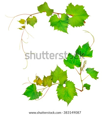 vine and leaves isolated on white background - stock photo