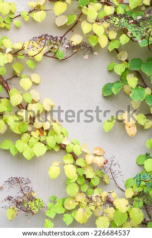 Vine creeper plant with green and yellow leaves in autumn - stock photo