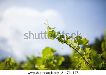 Vine in vineyard with sky background - stock photo
