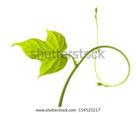 Vine leaf isolated on white  - stock photo