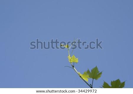 vine leaf on sky - stock photo