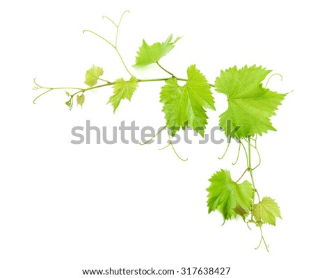 Vine leaves isolated on white background with shadow. Green leaf - stock photo