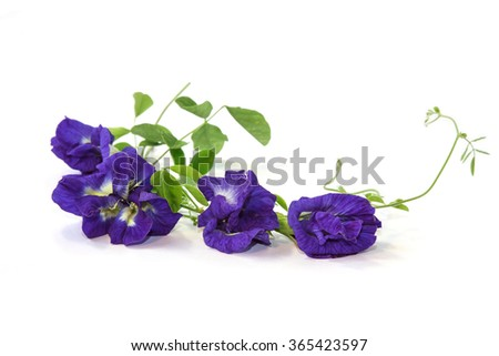 Vine of Butterfly Pea on white background, Herbal Medicine - stock photo