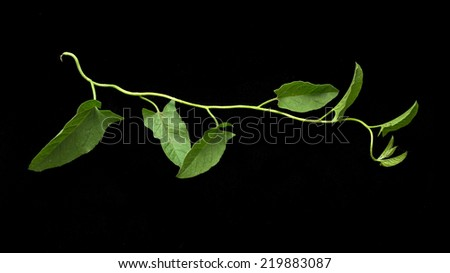 vine on a black background - stock photo