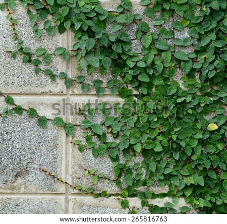 vine on wall - stock photo