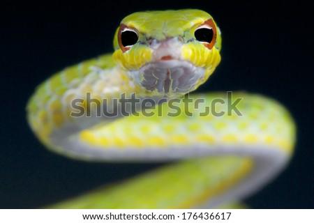 Vine snake / Ahaetulla mysterizans - stock photo