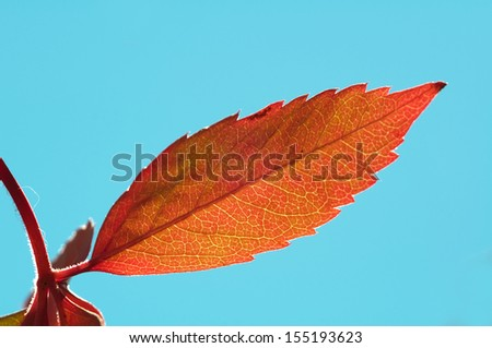 vine turns red in autumn - stock photo