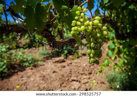 Vine unripe grapes closeup - stock photo