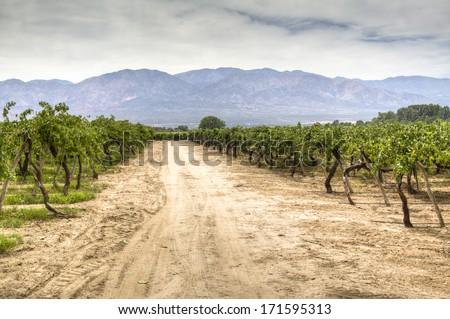 Vine yards in Cafayate, Argentina - stock photo