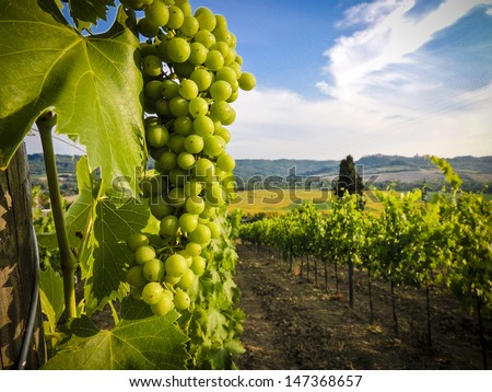 Vines - stock photo