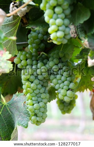 Vines and Grapes in the South of France - stock photo