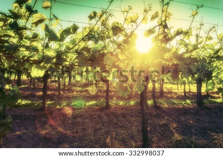 Vines growing in picturesque hilly countryside lit by the sun. Wine-making and wine-tasting background. Vintage effect.  - stock photo
