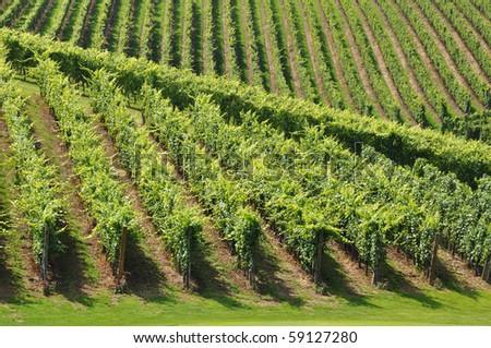 Vines in the summer sunshine - stock photo