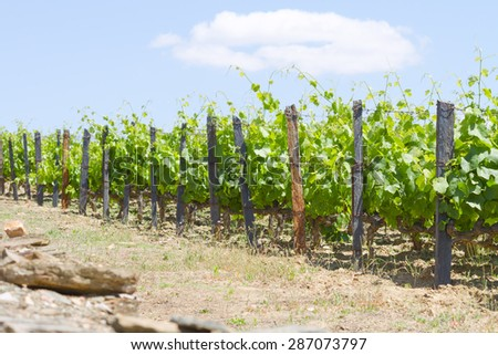 vines on the hillside in Portugal - stock photo