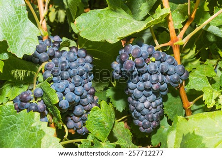 Vines with juicy ripe red wine grapes ready to be harvested. - stock photo