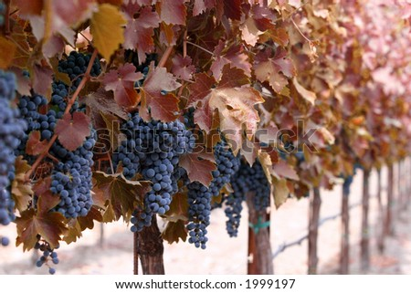 Vines with red leaves and grape clusters - stock photo