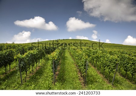 Vineyard - stock photo