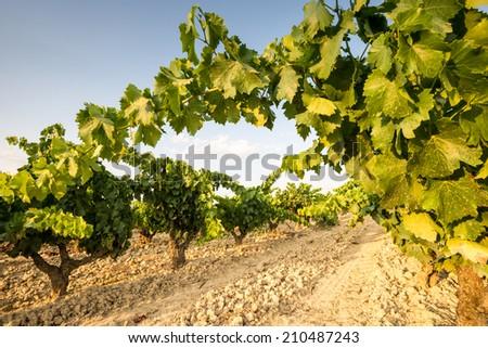 Vineyard at La Rioja (Spain) - stock photo