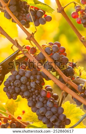 Vineyard at sunset - stock photo