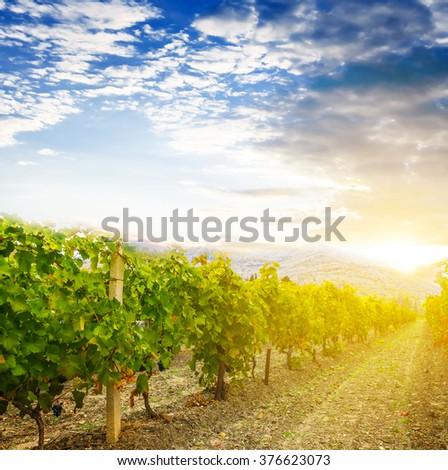 vineyard at the sunset - stock photo