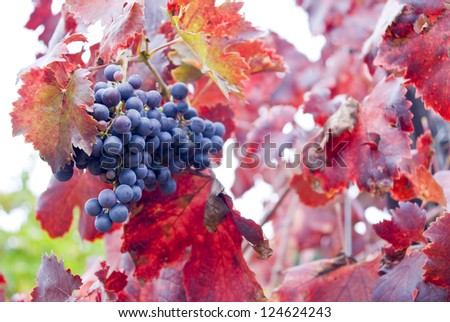 Vineyard. Close-up, selective focus. Vineyards in autumn harvest. Red varietal wine grapes on vine, ripe for harvest. - stock photo