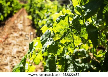 Vineyard field landscape on a sunny day. - stock photo