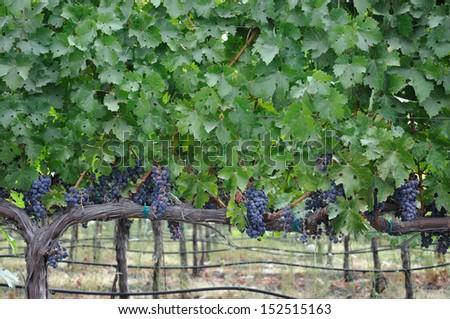 Vineyard Grapes in Napa Valley - stock photo