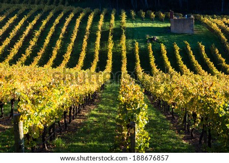 Vineyard in Adelaide Hills autumn with old farm house ruin - stock photo