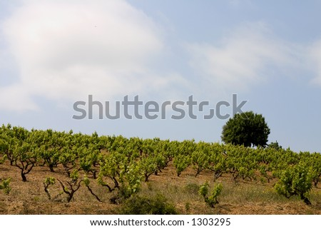 Vineyard in Alella, Catalonia, Spain - stock photo