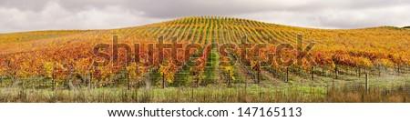 Vineyard In Autumn Panoramic - stock photo