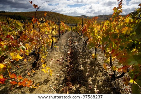 Vineyard in full autumn colors at Douro valley, Portugal - stock photo