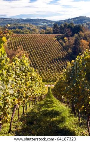 Vineyard in Germany - stock photo