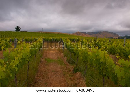 vineyard in marlborough new zealand with clouded sky - stock photo
