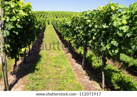 Vineyard in Middle Europe in Summer - stock photo