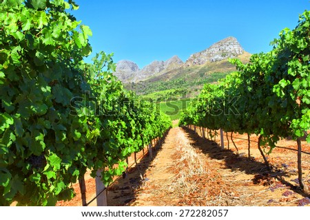 Vineyard in mountains. Shot near Somerset West/Cape Town, South Africa.  - stock photo